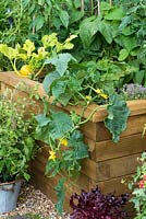 Trailing Cucumber 'Bush Champion' tumbles over the side of a wooden raised bed.
