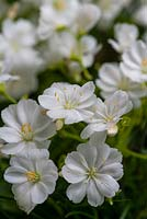 Lewisia cotyledon 'Elise White', an evergreen perennial succulent with beautiful flowers in summer.