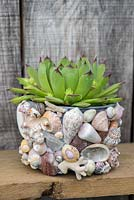 A plastic pot covered with sea shells planted with Echeveria