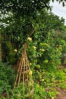 Twiggy wigwams for supporting plants, Yellow rose Rosa 'Graham Thomas scrambles up the furthest obelisk, and euphorbias and cistus, dappled shade of a birch tree, Betula pendula.