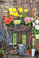 Hanging basket planting with daffodils, muscari and primroses.