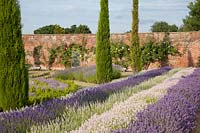 Display of mixed lavenders in walled garden growing with conifers and rosa. Downderry Lavender Farm, Kent