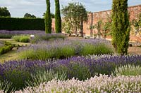Walled garden with dramatic display of mixed lavenders and conifers, Downderry Lavender Farm, Kent, UK.