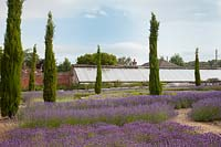 Pathways through mixed lavenders and conifers with view to greenhouse, Downderry Lavender Farm, Kent, UK.