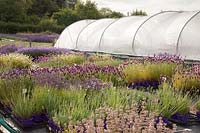 Mixed lavender plants for sale in nursery. Downderry Lavender Farm, Kent