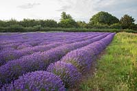 Field of lavender growing in straight rows in July, Downderry Lavender Farm, Kent, UK.