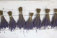 Bunches of lavender hanging to dry. Downderry Lavender Farm, Kent, UK.