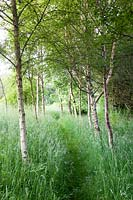 Pathway through birches in wild garden