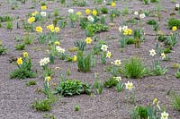 Narcissus - Daffodil - flowers between emerging perennials in a mulched perennial meadow, Narcissus 'Rembrandt' and Narcissus 'Stainless'