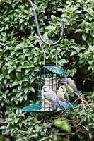 Three juvenile Cyanistes caeruleus - Blue Tit - feeding on metal feeder containing a fat and seed block