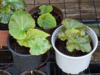 Potted up young plantlets in early spring. Begonia mixed. Super cascade mix