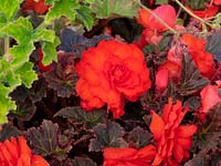 Summer flowering Begonia