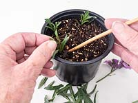 Semi ripe summer cuttings Erysimum - purple wallflower. preparation for propagation.