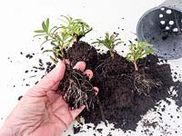 New young propagated Erysimum plantlets with strong root system ready for potting on