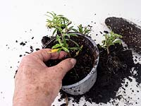 Planting semi ripe summer cuttings of Erysimum - pot on individually after separating rooted cuttings.