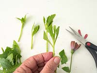 Propagating Osteospermum - Semi ripe cuttings in summer