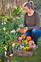 Woman filling gaps in spring border by planting out Pansies, Primroses, Bellis and Tulips.