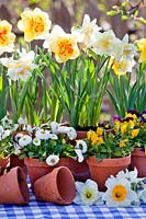 Daffodils, bellis and pansies in containers.