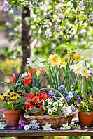 Trug and pots with daffodils, primroses, tulips and pansies.