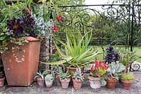 Pots of succulents beside a container planted with Aeonium 'Zwartkop', Pelargonium australe and Fuchsia corymbifolia