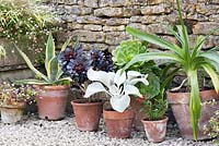 Collection of terracotta pots planted with succulents, white leaved Senecio 'Angel Wings' and Clivia, in front of old stone wall