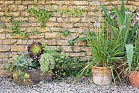 Group of pots against a wall planted with Tulbaghia violacea, Succulents, pelargoniums and Beschorneria yuccoides.
