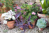 Collection of terracotta pots planted with succulents, white leaved Senecio 'Angel Wings', Pelargonium and Tradescantia pallida 'Purpurea'