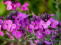 Erysimum - Hardy Wallflower