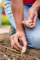 Planting Garlic cloves in the ground