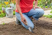 Woman using a trowel to make channel for planting a row of Garlic in the ground