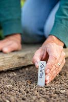 Inserting metal Kalette label next to newly-sown seeds to mark the row