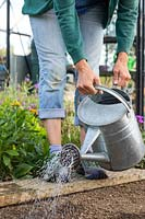Woman using galvanised watering can fitted with a rose to water row of recently-sown Kalettes