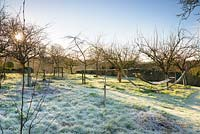 Orchard on a frosty morning