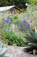 Agapanthus in Garden of Pan Global Plants. July.