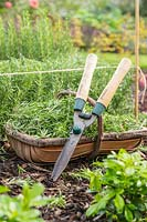 Trug of Rosemary clippings and shears.