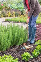 Woman adding a bamboo stick in the corner of Rosemary hedge for fastening guide string.