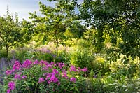 Herbaceous border with pink Phlox, Salvia forsskaolii and Cenopholium denudatum in the orchard area with plum, cherry and greengage.