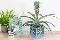 Cardboard box planter decorated with wrapping paper and planted with Ananas nanus - Pineapple on desk with various crafted items