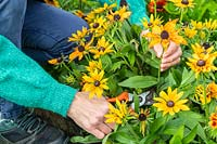 Woman using secateurs to cut Rudbeckia flowers for floral arrangement.