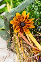 Close up detail of foliage and flowers in wooden trug on table ready for making an autumnal arrangement including Rudbeckia and ornamental grasses.