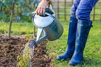 Woman using a watering can to water a row of newly-planted Prunus lusitanica grown from cuttings.