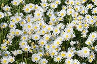 Bellis perennis - Common Daisy in Lawn