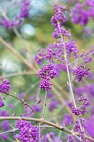 Callicarpa bodinieri 'Imperial Pearl' - Beautyberry 'Imperial Pearl' berries in autumn