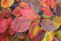 Cotinus coggygria - Smoke Tree