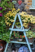 A pot of Nemesia 'Nesia Sunshine' rests ontop of an old painted ladder.