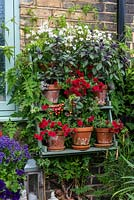 Terracotta pots of Calibrachoa 'Can Can Double Red' sit on shelves, beneath pots of basil and nemesia.