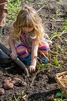 Little girl helping dig potatoes in garden.