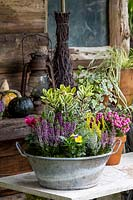 Galvanised container planted with Brassica, Hebe, heathers, Viola and Cyclamen in a rustic setting.