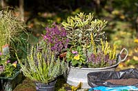 Planting a small, vintage galvanised container with autumn-interest plants.