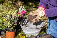Planting a small, vintage galvanised container with Autumn plants. Bud flowering heathers, Hebe, Cyclamen, Viola - mossed